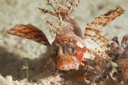 BD-141018-Komodo-5588-Dendrochirus-brachypterus-(Cuvier.-1829)-[Shortfin-turkeyfish].jpg